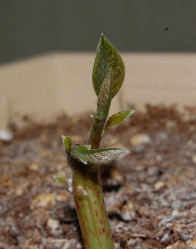 472px-Persea_americana_(Avocado)_Sprout_08May2010