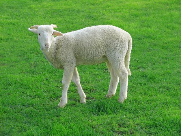 Lamb_09807-a.jpg